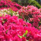 葉山:花の木公園のつつじ2015